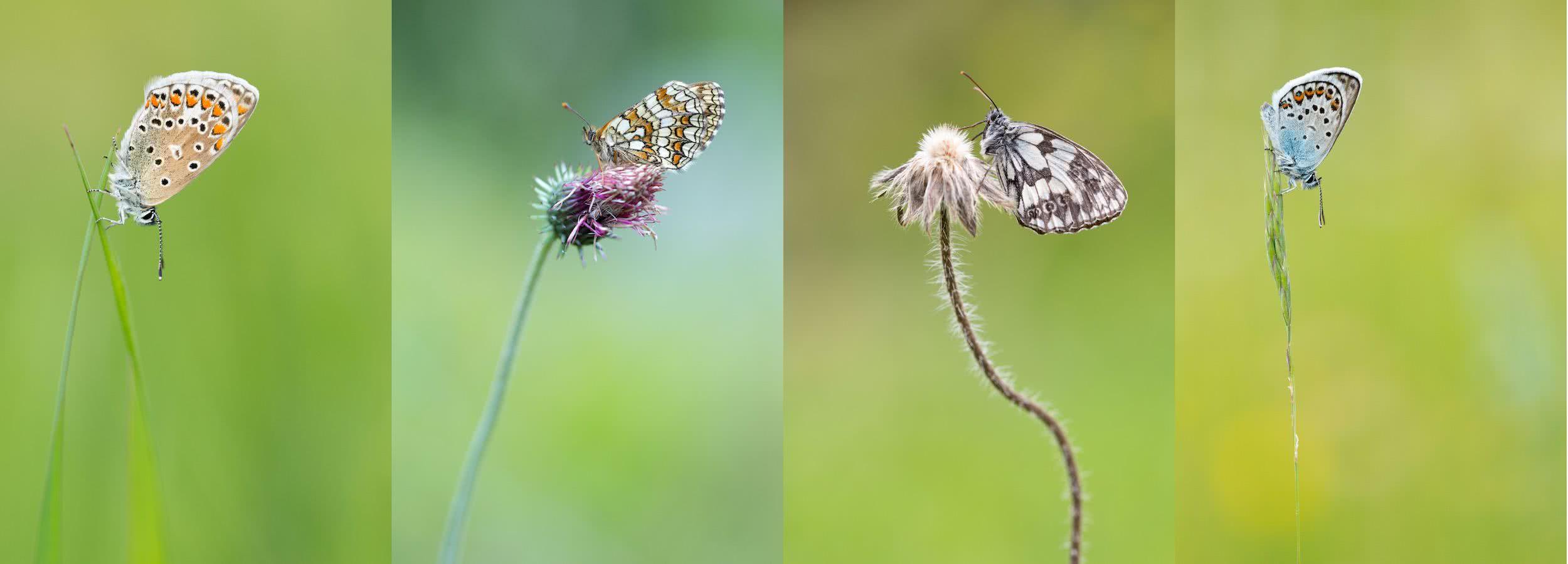 Schmetterlinge in der freien Natur fotografieren