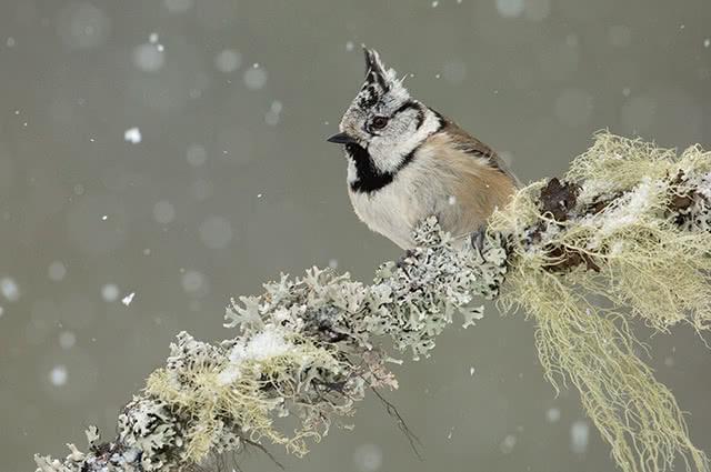 Fotografieren Sie Singvögel in der Winterlandschaft
